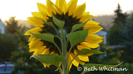 Sunflower in Seattle – Photo of the Day