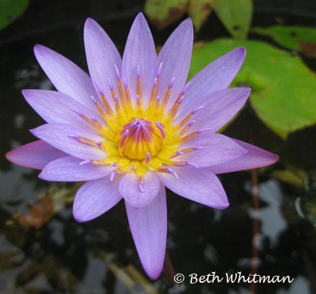 Vietnam Lotus flower