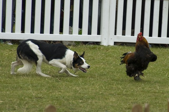Rooster Chased by Dog