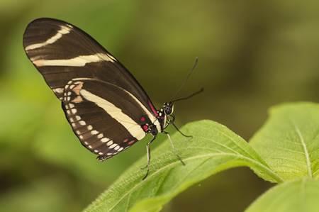 Mariposa Butterfly