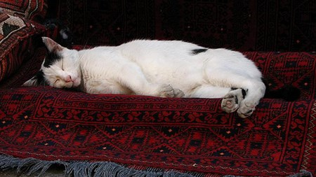 Cat Napping on Carpet