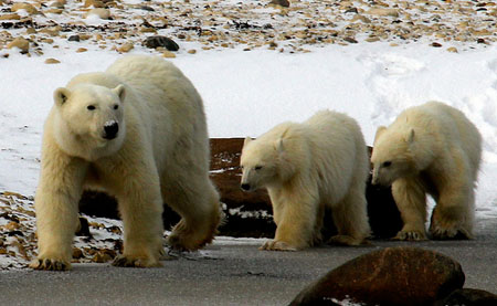 Polar Bear Mother and Cubs
