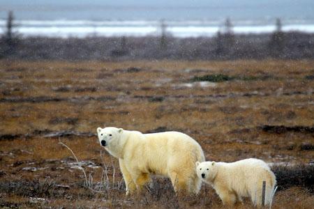 Polar Bears Heading to Hudson Bay
