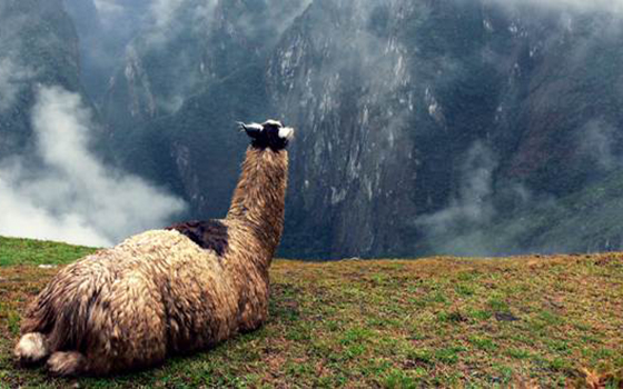 Llama-Peru