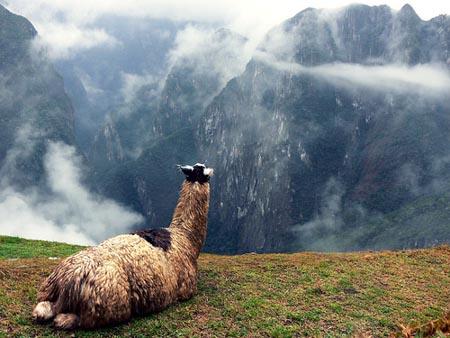Llama on Peruvian Mountain