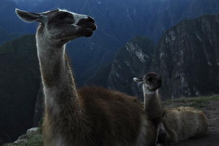 Llamas at Dusk
