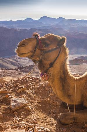 Camel on Sinai