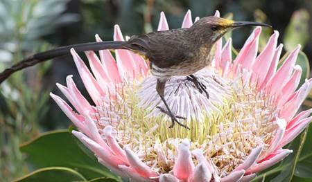 Cape Sugarbird on King Protea