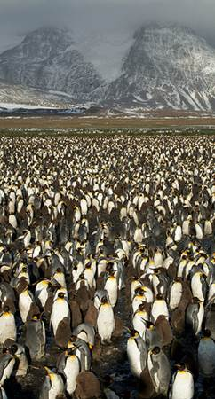 King Penquin Colony