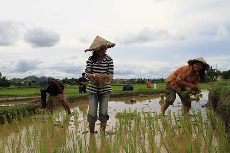 Lao Women Harvesting Rice