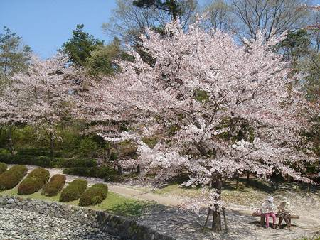 Under Cherry Blossom Tree