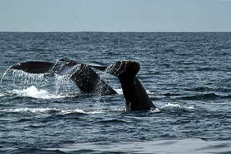 Whales off Puerto Vallarta