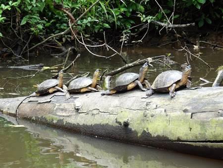 Tortuguero National Park Turtles