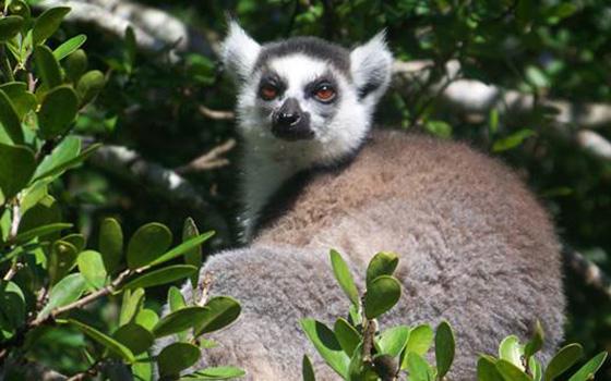 Lemur-Count